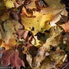 На опавшую листву (на омоложение)